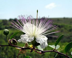 Cypriot Bloom