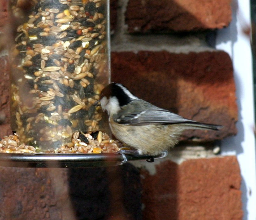 Coal Tit - Window Shopping