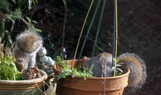 Squirrels - Doing a little gardening