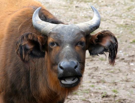 Congo Buffalo - Marwell