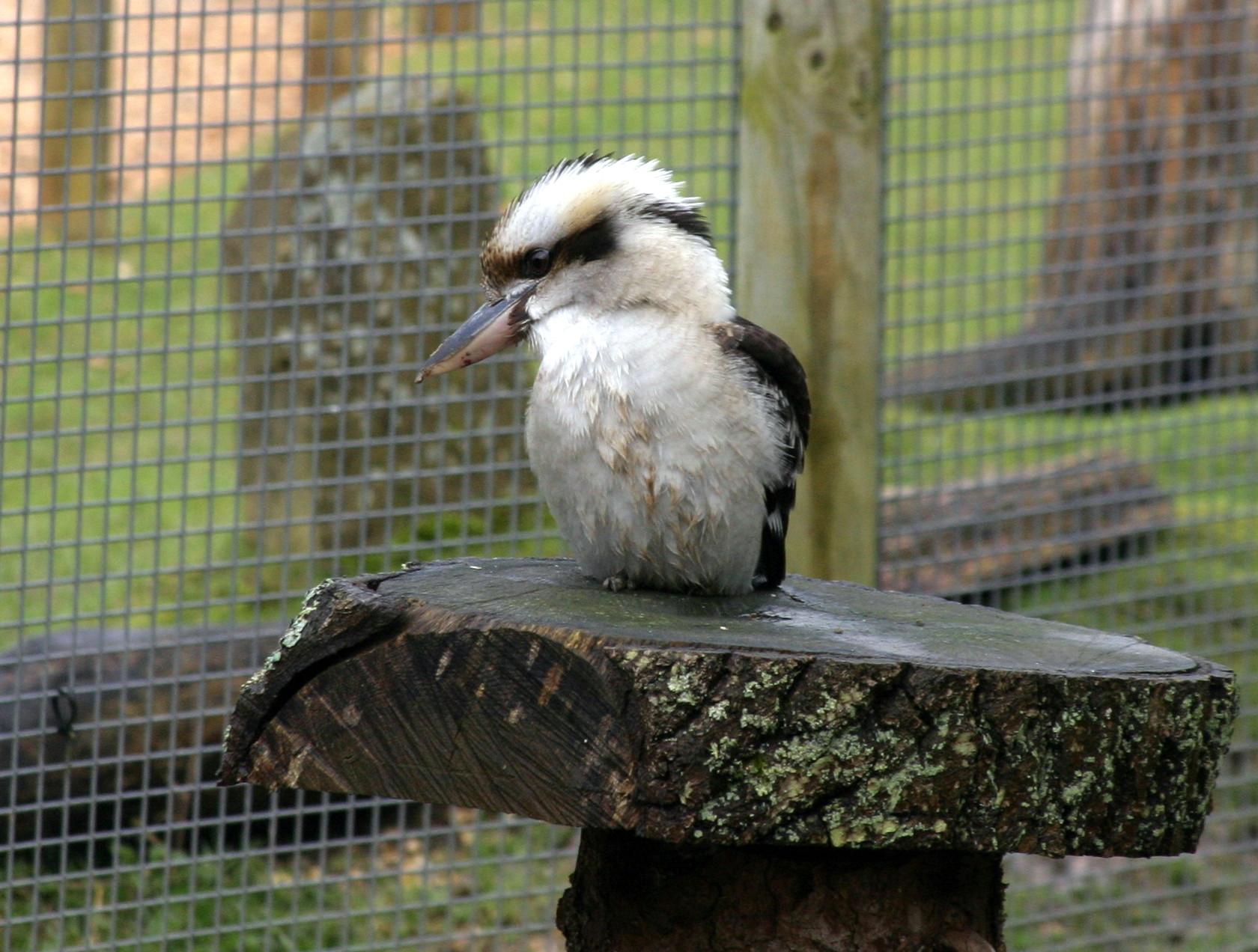 Kookaburra - Marwell