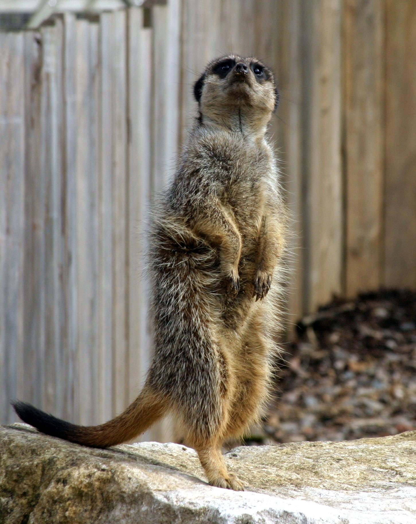 Meerkat - Marwell