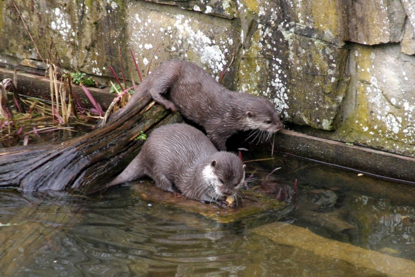 Otters - Marwell