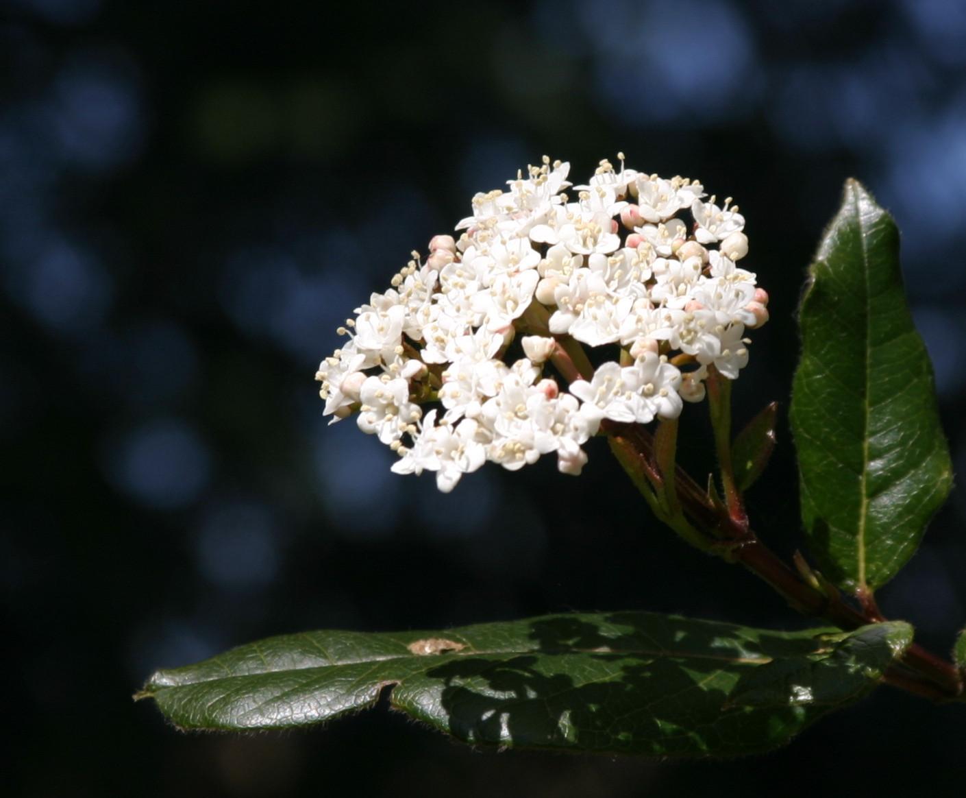shrub2