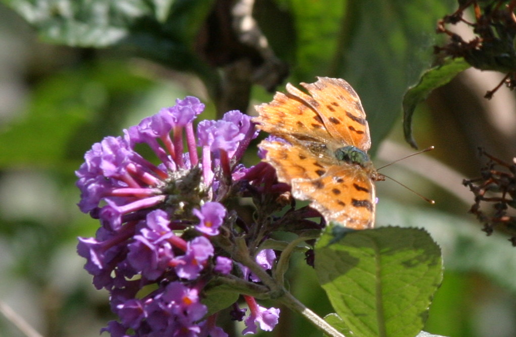 Comma Insecta: Lepidoptera : Family Nymphalidae: Subfamily Nymphalinae : Genus Polygonia: Species c-album