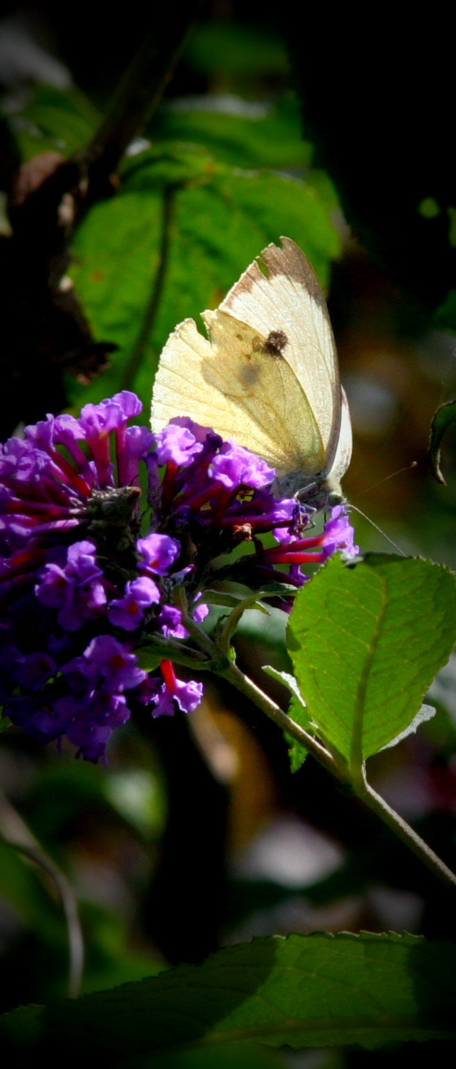 Great White Insecta: Lepidoptera : Family Pieridae: Subfamily Pierinae : Genus Pieris: Species brassicae: