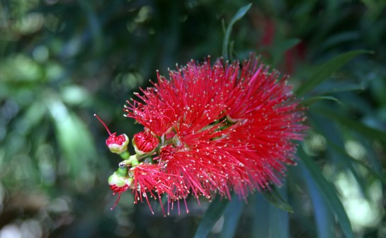 Bottle_Brush_IMG_9274