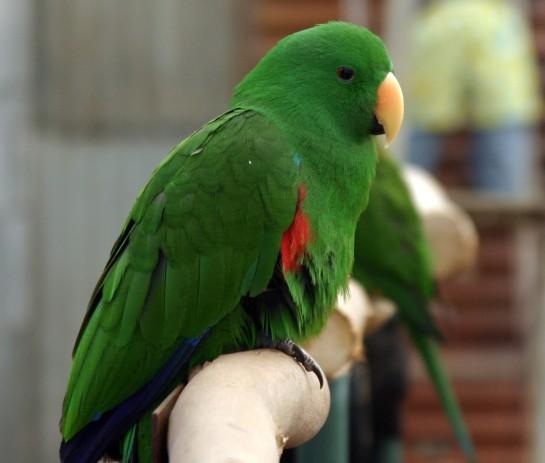 Green_Parrot_IMG_9314