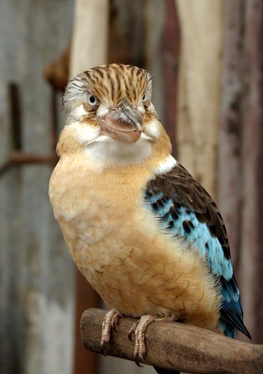 Kookaburra_Crop_IMG_9345