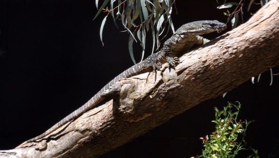 Lizard_Cropped_IMG_9242