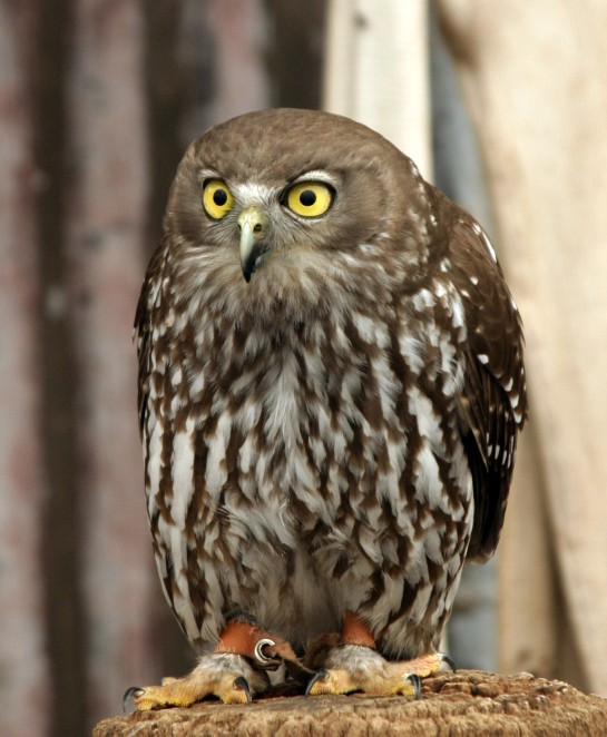Owl_Crop_IMG_9332