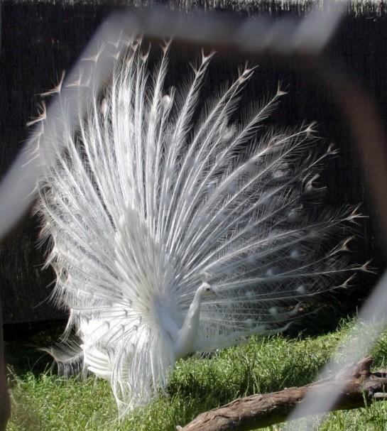 Peacock_Crop_IMG_9351