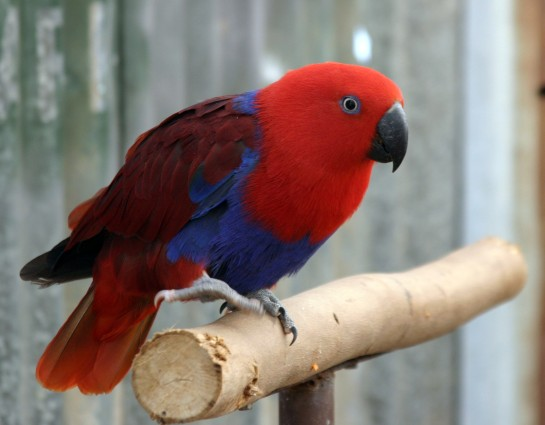 Red_Parrot_IMG_9313