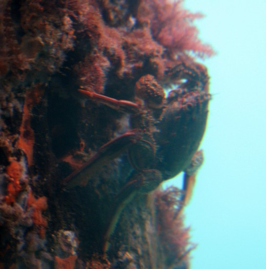 Red Bait Crab - Underwater Observatory at Bussleton Jetty