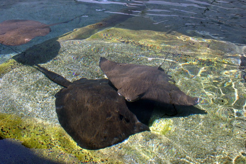 Rays - Sea World. They are in a touch pool and moved so gracefully with a ripple of their wings.