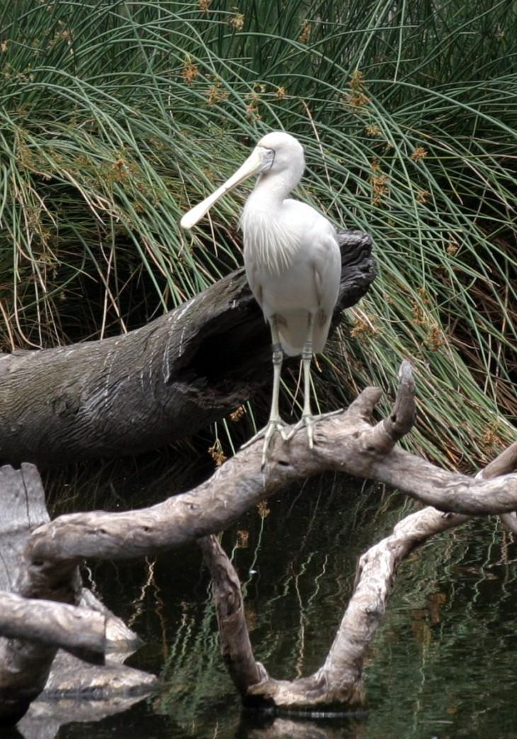 Perth Zoo - Spoonbill