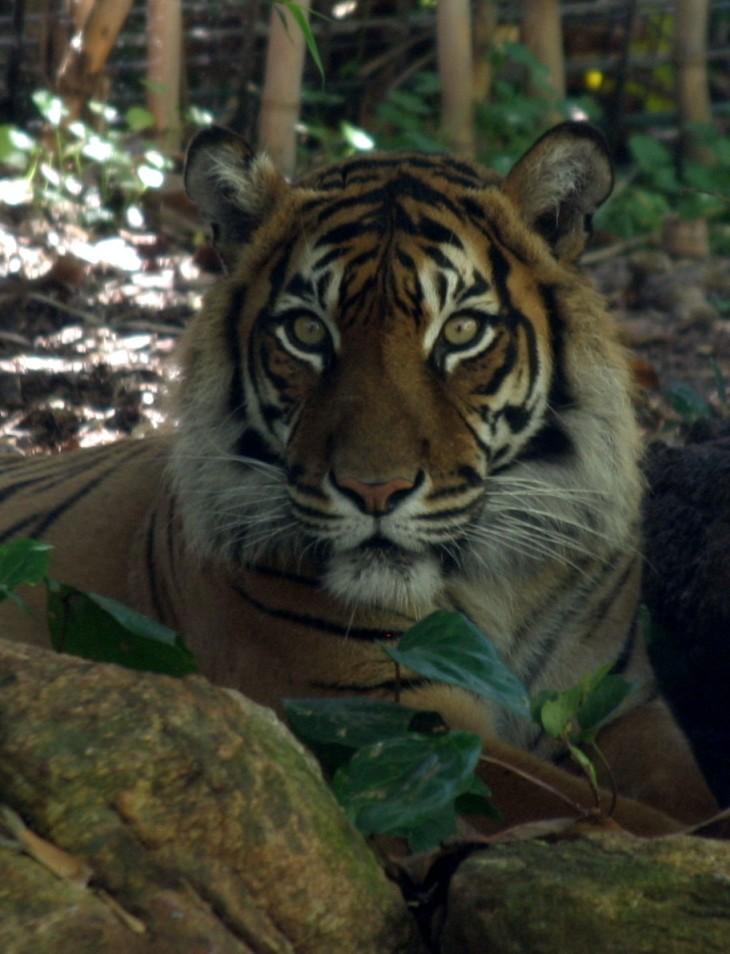 Perth Zoo - Tiger