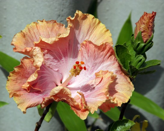 Hibiscus - I Think !!