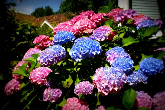 Hydrangea - Called Gwen after the lovely lady who gave my wife this beautiful plant in a pot, many years ago. This is the best display ever and Gwen, the lady, would be very pleased that her present is giving so much pleasure.