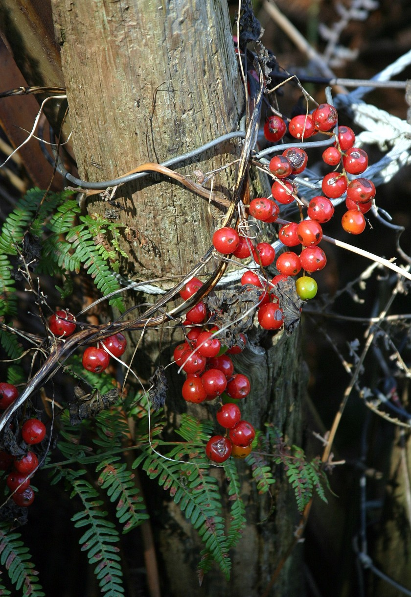 """Tangle"" Berries"