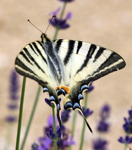 Beautiful butterfly - Flew into reach of my lens while I was visiting Collonges-la-Rouge in the Correze.