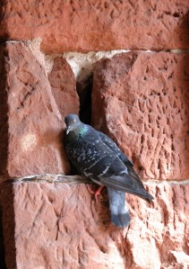 Pigeon - Collonges-la-Rouge, France