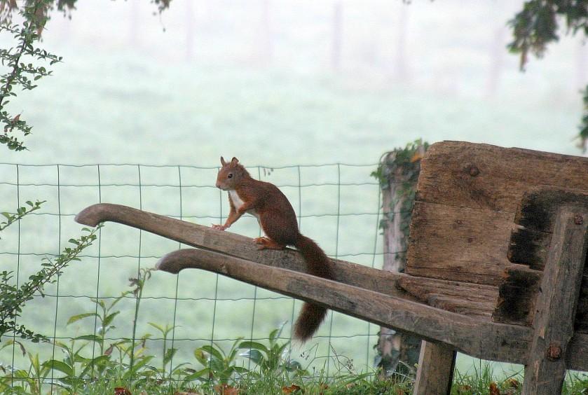 Red Squirrel - La Porcherie, Limousin, France