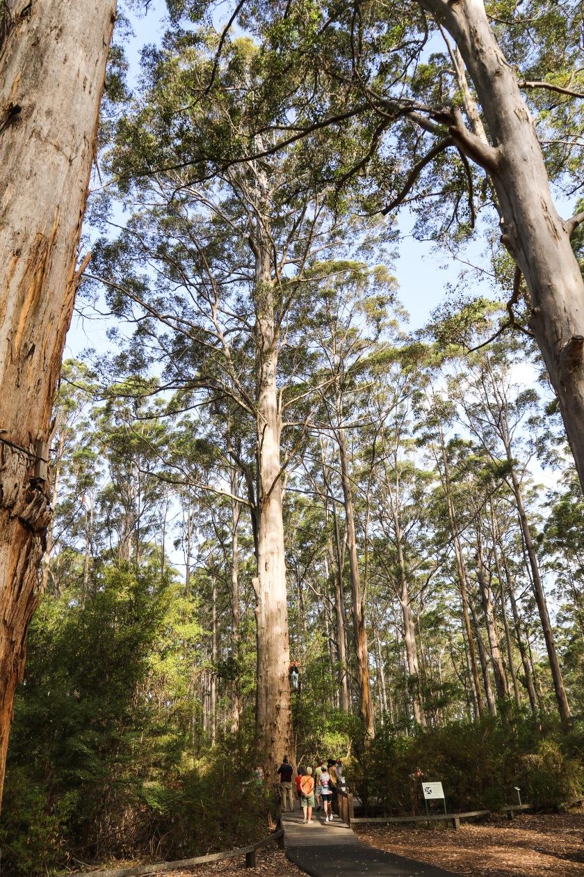 Gloucester Tree - Pemberton, WA