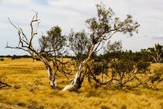 Tree near Wooramel River