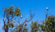 Parrots - Gascoyne River, Carnarvon, WA
