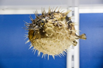 "Puffer Fish ""Blowie"""