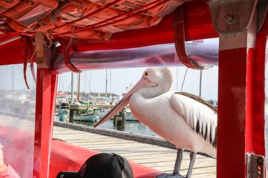 """Perch"" Star of the Pelican Show - Albany, WA"