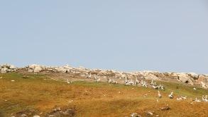 Green Island, Pelican Nesting Site - Albany, WA
