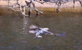 Osprey - Kalgan River, WA