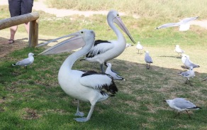 Daily Pelican Feeding - Kalbarri, WA
