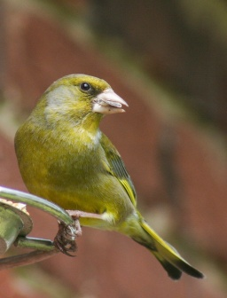 Greenfinch, Waterlooville, England