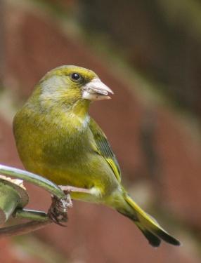 Greenfinch, Waterlooville, England