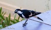 Magpie-lark, New Norcia, Western Australia