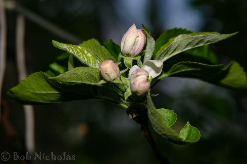 AppleBlossom