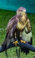Hawk_WP