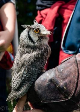 White Faced Scops Owl
