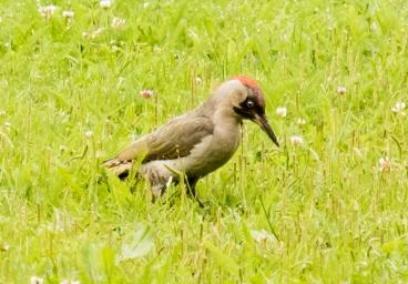 Green Woodpecker (Picus viridis)