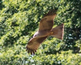 Raptor - Serandon, Dordogne, France