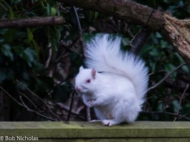albinosquirrel2
