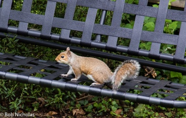 Grey Squirrel - So much ginger it's almost red