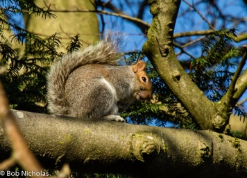 Grey Squirrel - Taking the rays