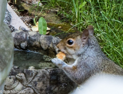 Grey Squirrel - Softening a bread crust in the bird bath