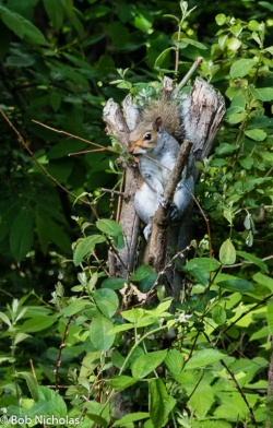 Grey Squirrel - So hungry after eating the bird food, it's eating a stick