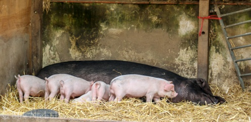 Piglets and Mum