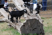 Goats, goats and more goats